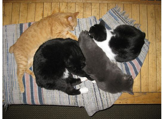 Snuggle pile including four of our Manx cats