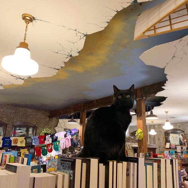 Image description: Photo of Eartha Kitt (black cat) sitting on stop of a row of books with the Wild Rumpus broken ceiling in the background